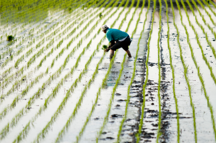 Rice Farmer Taiwan