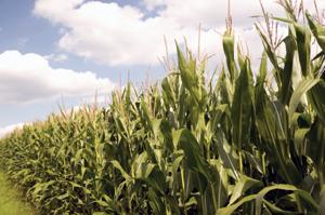 Corn-food-famine